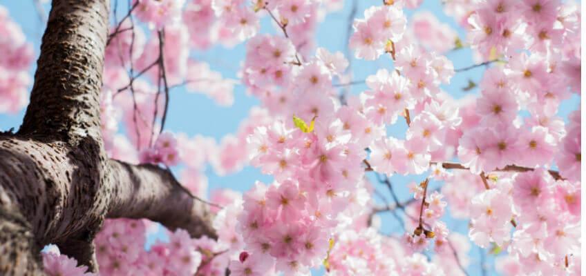 blossoms spring